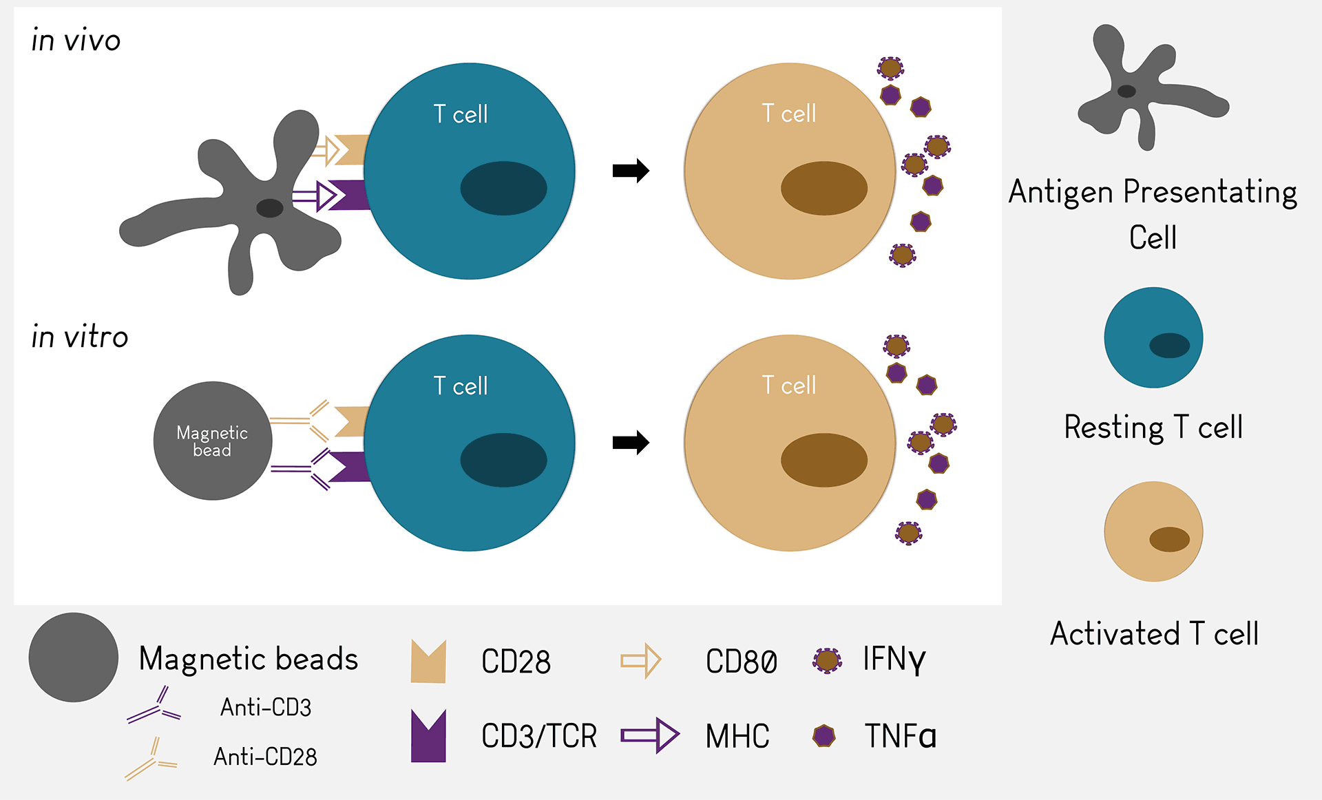 Cd3 mature t cells